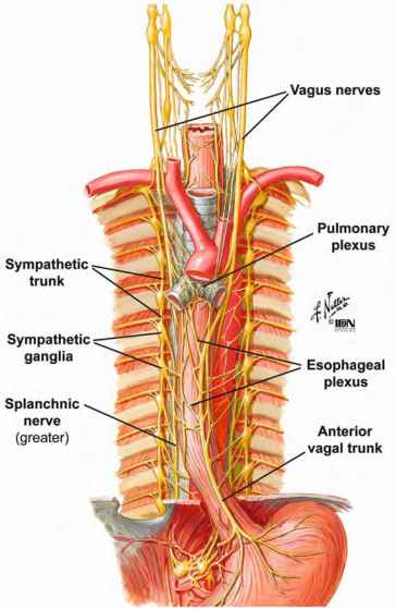 Thoracic Splanchnic Nerves