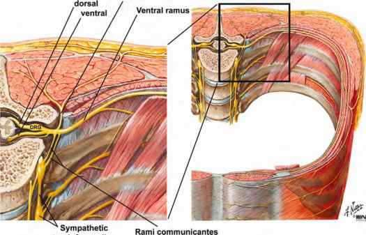 Picture Thorasic Nerves