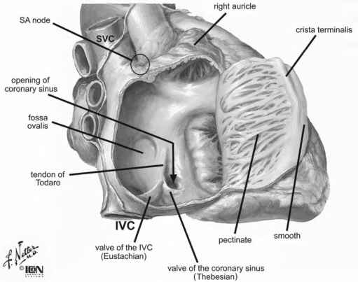 Atrial Septal Anatomy