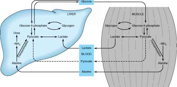 Liver Glut Transporter Bidirectional