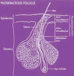 Pilosebaceous Unit