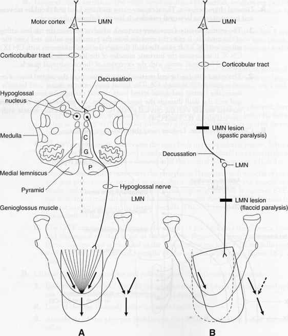 Cerebral Arteries Innervation
