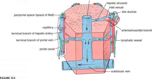 Central And Hepatic Vein