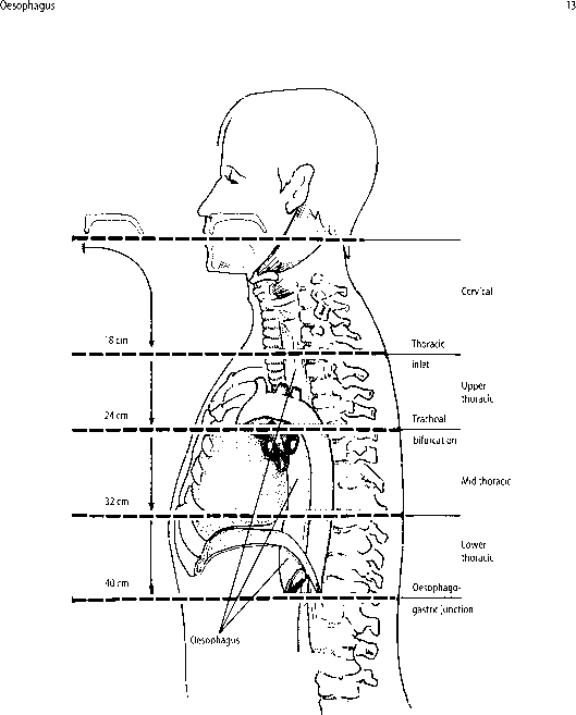 Upper Middle Lower Third Anatomy