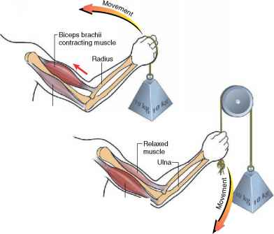 Elbow Structure Movement And Function