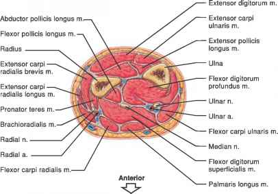 Cross Section Medial Forearm