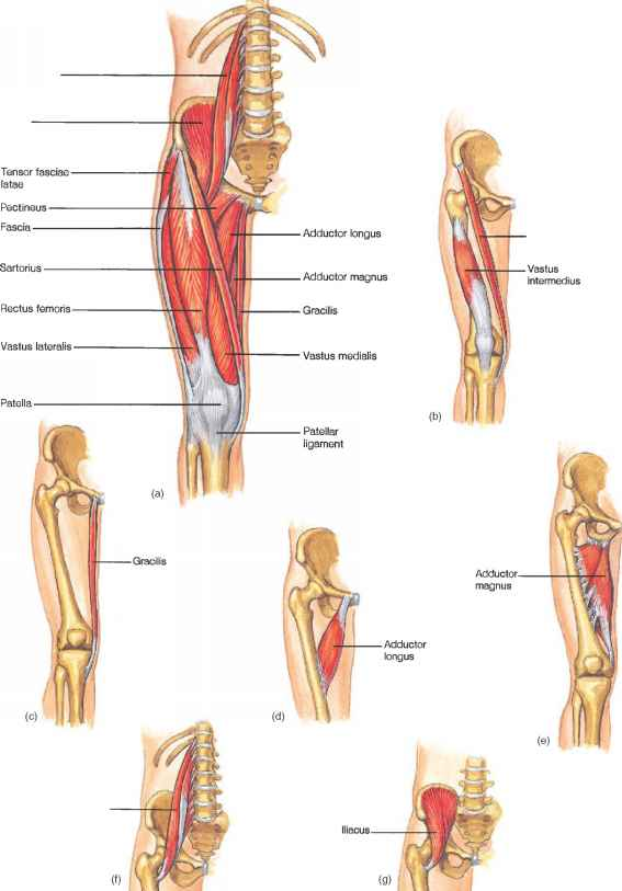 Biceps Femoris And Psoas Major