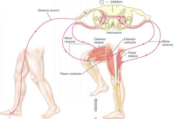Spinal Flexor Reflex Arc