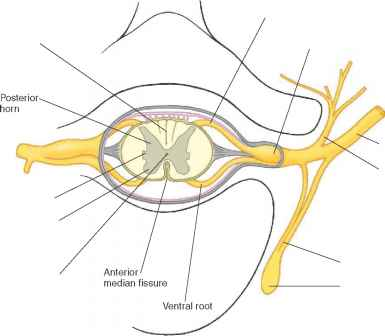Location Dorsal Root Ganglion