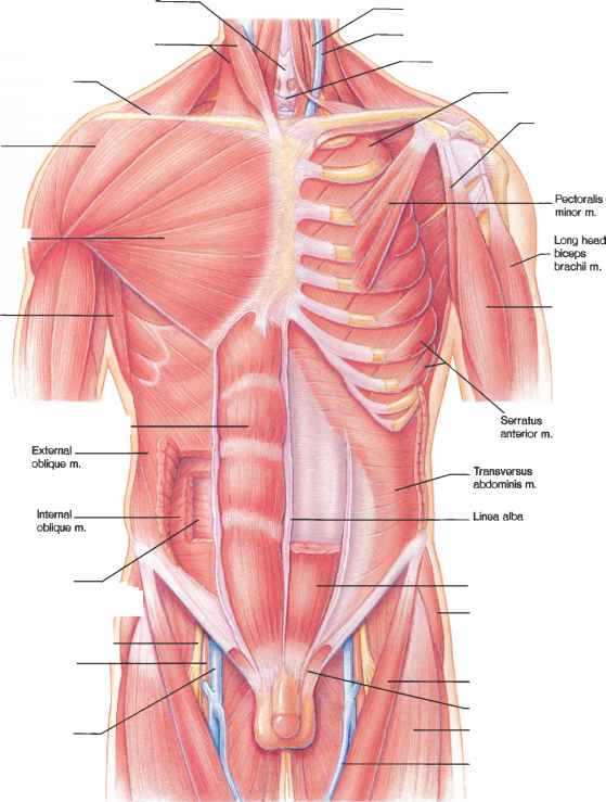 Sternocleidomastoid And Rectus Abdominis