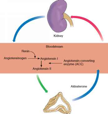 Aldosterone And Blood Pressure