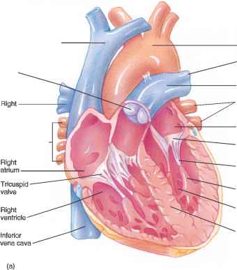 Right Atrioventricular Orifice