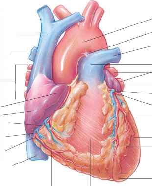 Heart Images Coronary Arteries And Veins