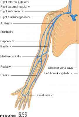 Main Veins Upper Limb