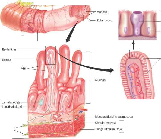 Tissue Layers The Alimentary Canal