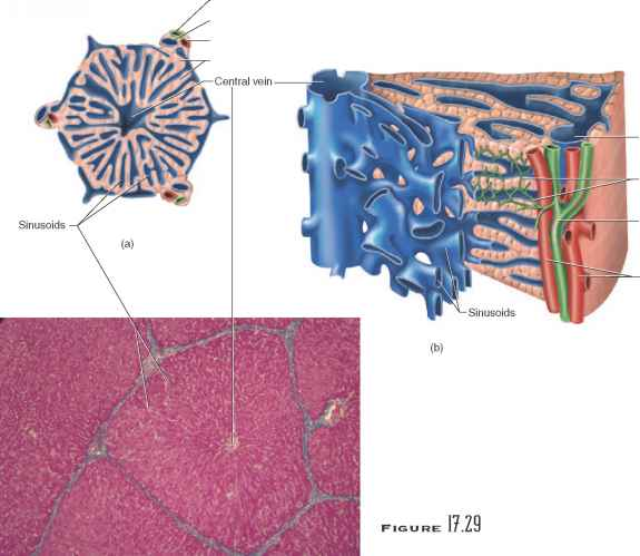 Liver Hepatic Vessels