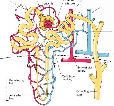 Structure The Human Nephron