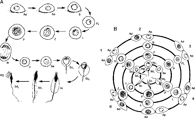 Diagram Rat Spermatozoa Morphology