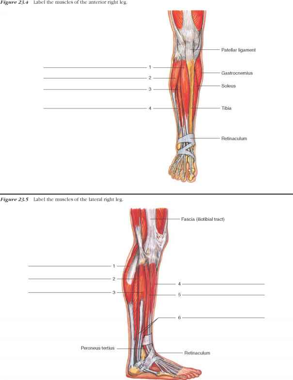 Muscles Posterior Thigh Labeled