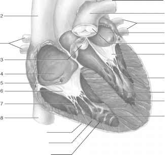 Sheep Heart Labeled Epicardium