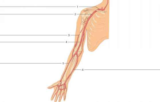 Venous System Shoulder