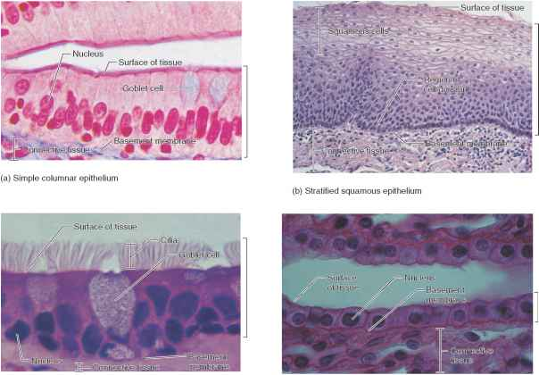 Transitional Epithelium 500x