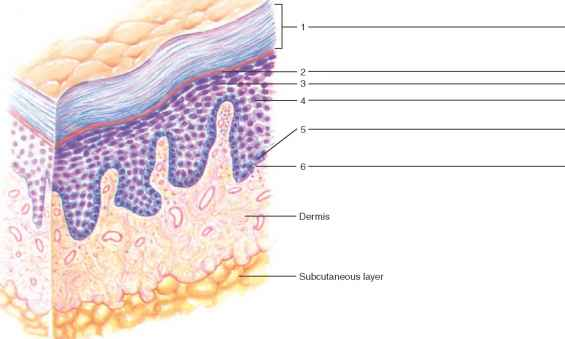 Label Epidermal Layers