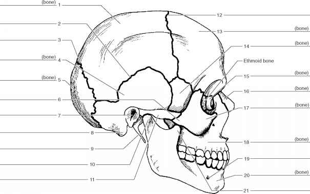 Label The Lateral Features The Skull
