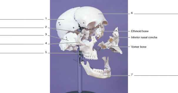 Lacrimal Disarticulated Skull
