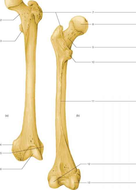 Tibia And Fibula Label