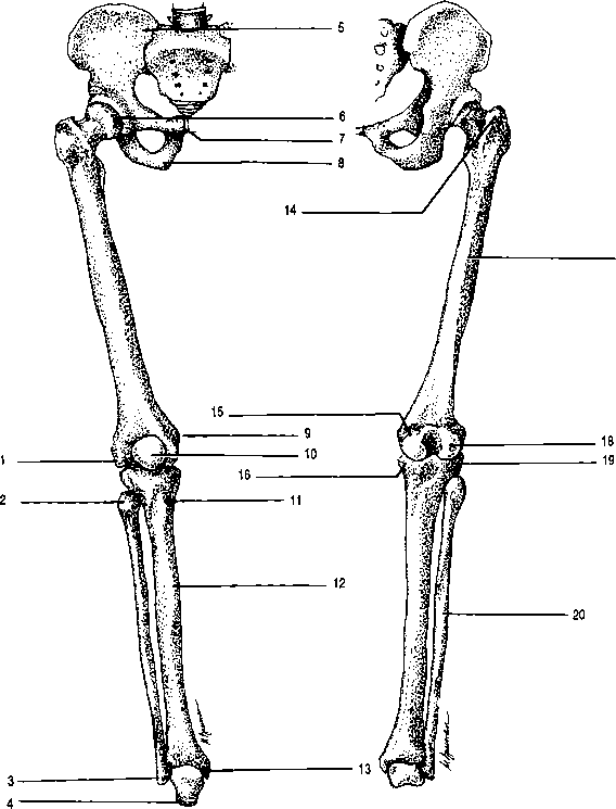 Label Distal Medial Head Femur