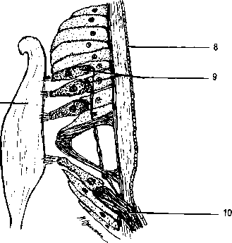 Basilar Membrane Cross Section