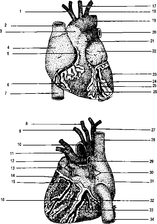 Posterior View Coronary Arteries