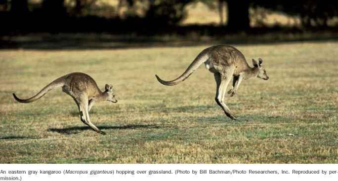characteristics of kangaroos