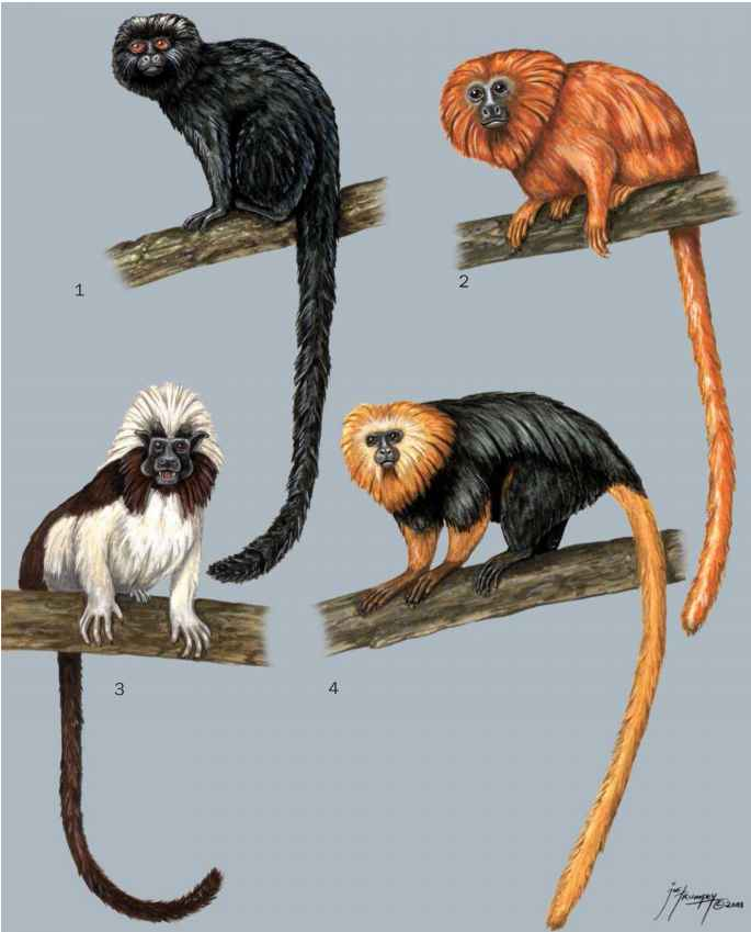 an analysis of the golden marmosets leontopithecus chrusomelas Toxoplasmosis in golden-headed lion tamarins (leontopithecus chrysomelas) and emperor marmosets (saguinus imperator) in captivity article (pdf available) in journal of zoo and wildlife medicine 31.