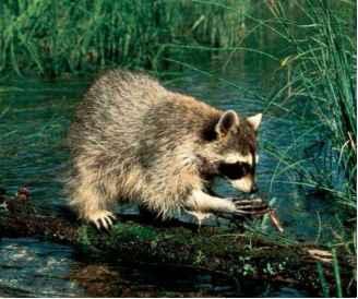 Raccoons and relatives - Mammals - GUWS Medical