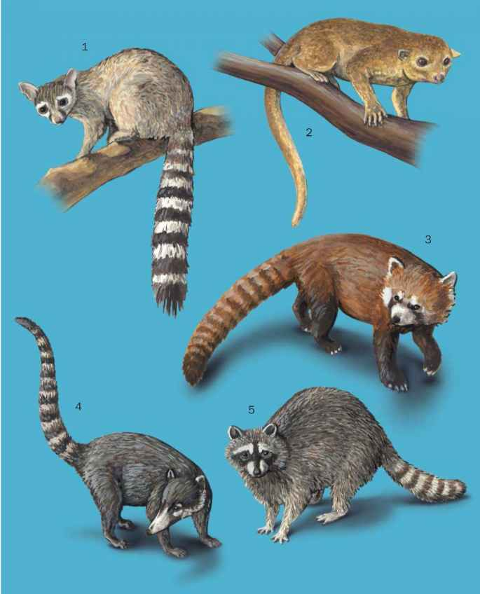 Ailurus Fulgens Illustration