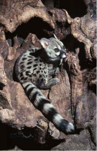 Civets Genets And Linsangs