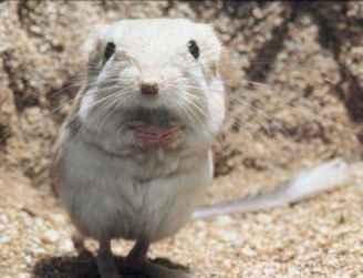 What Kangaroo Rats Eat The Kangaroo Rat Eating