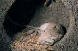 Kangaroo rat Facts