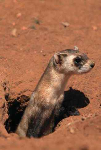 black footed ferret and prairie dog relationship