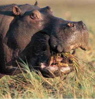 Are Hippopotamus Are Endotherms
