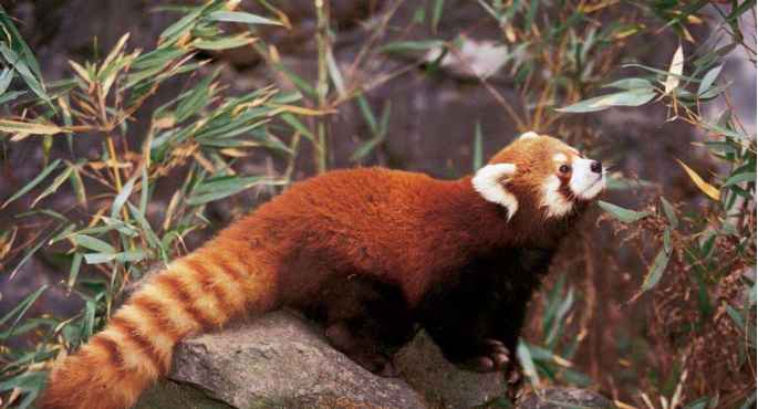 Phylogenetic Tree Red Panda