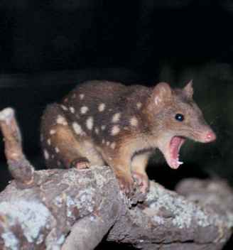 Spotted Tail Quoll Life Cycle Images