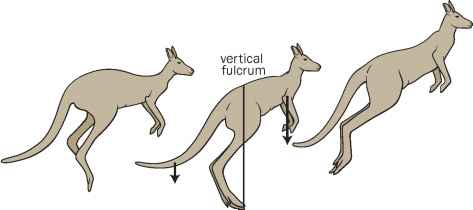 Kangaroo Locomotion