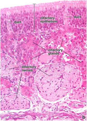 olfactory segment of the nasal cavity muscle cells