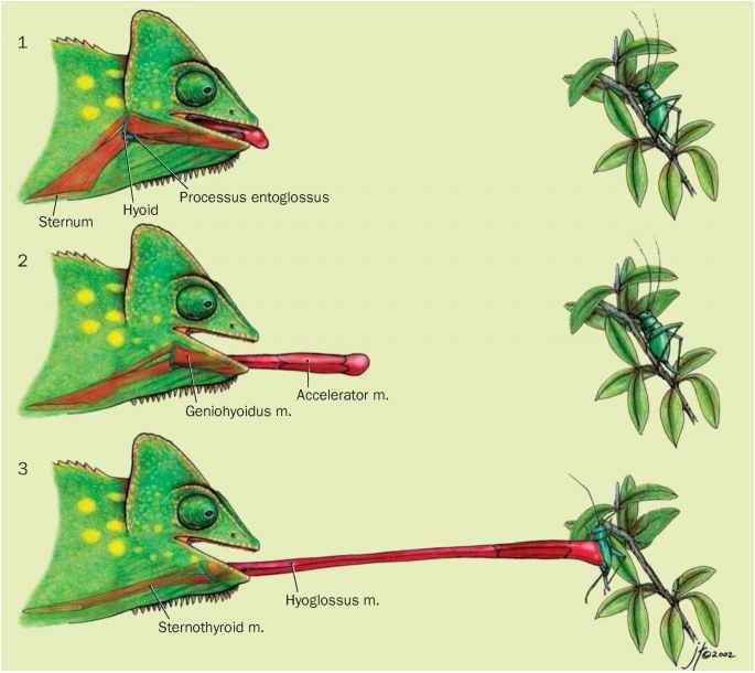 Chameleon Tongue Anatomy   www.imgkid.com - The Image Kid ...
