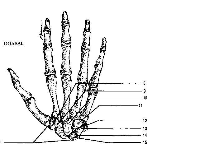 numbered metacarpals phalanges