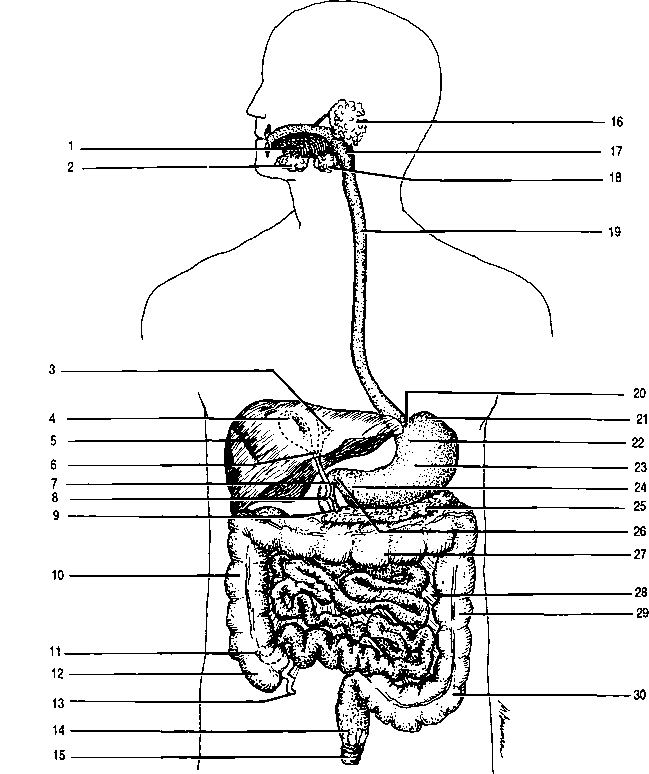 Pancreatic Duct Alimentary Canal