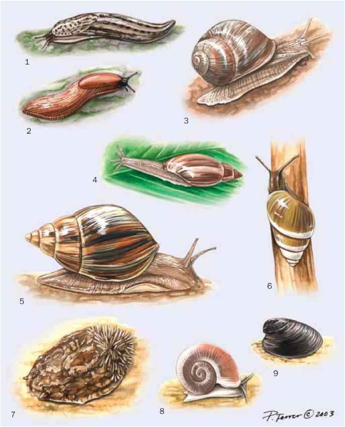 Land Snails Reproduction